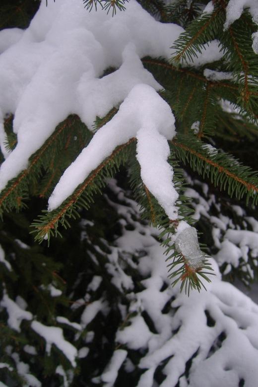 Snowpine