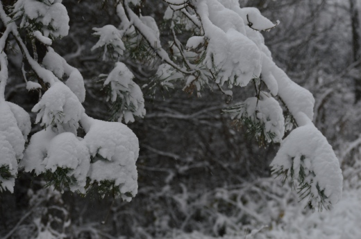 Snow on Pines