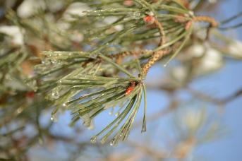 Pine Gems
