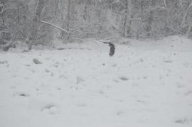 Bald Eagle over The Hudson River Ice Pack