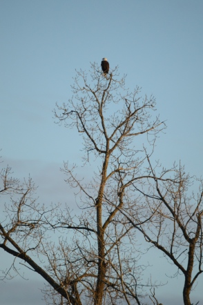 Bald Eagle Sunrise