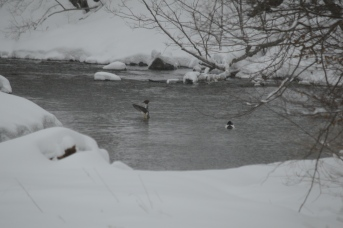 Mergansers On West Creek