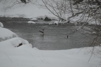 Mergansers On West Creek