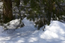 Spruce Trap