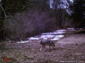 Coyote in Daylight