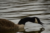 Canada Goose Feeding