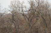 Roosting Cormorants