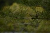Elusive Sparrow