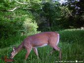 Healthy Deer