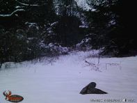 Trailcam Barred Owl