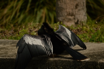 Anhinga Showing Off
