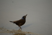 Grackle Drinking