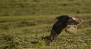 Redtail Takeoff