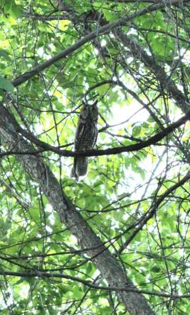 Owl's Swing