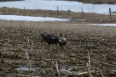 Turkeys In Corn Stubble