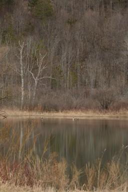 Geese At Engleville Pond